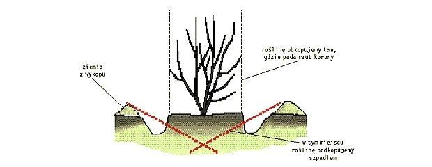 Przesadzanie magnolii