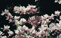 Przesadzanie magnolii. Poznaj zasady pielęgnacji magnolii po jej przesadzeniu