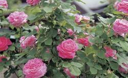 Róże angielskie parkowe. Pielęgnacja róż angielskich